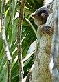 Black-tailed Marmoset (Mico melanurus).jpg