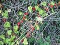 Black Bryony berries in Wineham Lane - geograph.org.uk - 252579.jpg