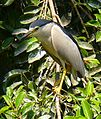 Black Crowned Night Heron GizaZoo2.jpg