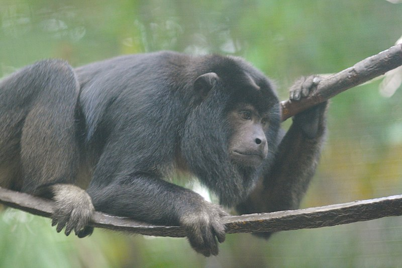 File:Black Howler Monkey (adult male) 4.jpg
