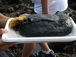 Black Sea Hare (Aplysia vaccaria).JPG