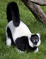 Black and White Ruffed Lemur 2 (4996423186).jpg