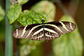 Black and White butterfly (5555358236).jpg