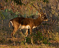 Blackbuck by N A Nazeer.jpg