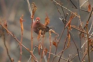 Blanfords rosefinch species of bird