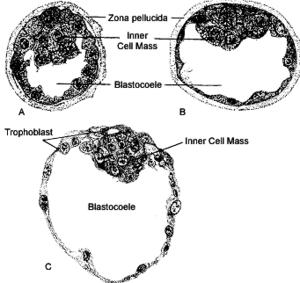 Blastocoel - Image: Blastocyst 2