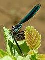 Blauflügel Prachtlibellen bei der Paarung. 05.jpg