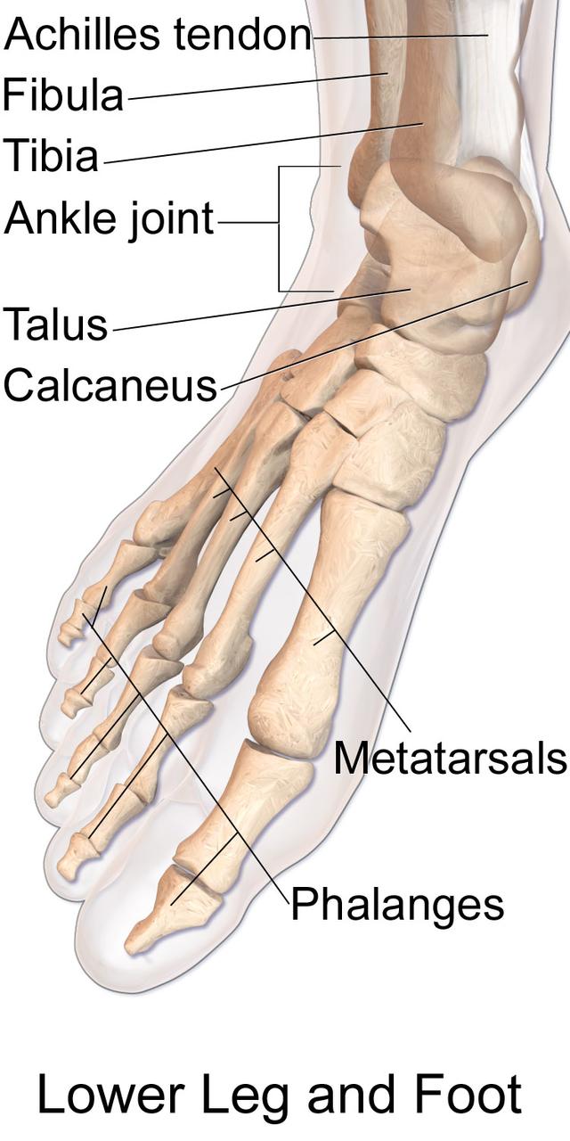 Anatomie voet botten ossa, spronggewrichten, voetbogen, basisstructuren