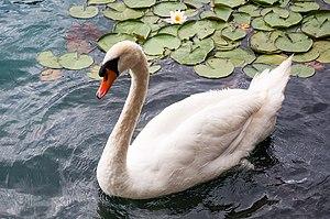 Hamsa (bird) - Image: Bled (9783636305)
