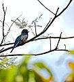 Blue-crowned Trogon (Trogon curucui) male (31447054570).jpg