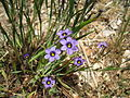 Blue-eyed grass Sisyrinchium bellum.JPG
