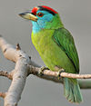 Blue-throated Barbet (Megalaima asiatica) on Kapok (Ceiba pentandra) in Kolkata W IMG 4293