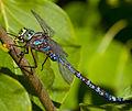 Blue Dragonfly 3 (7974369693).jpg