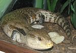 Blue Tongued Skink 001.jpg