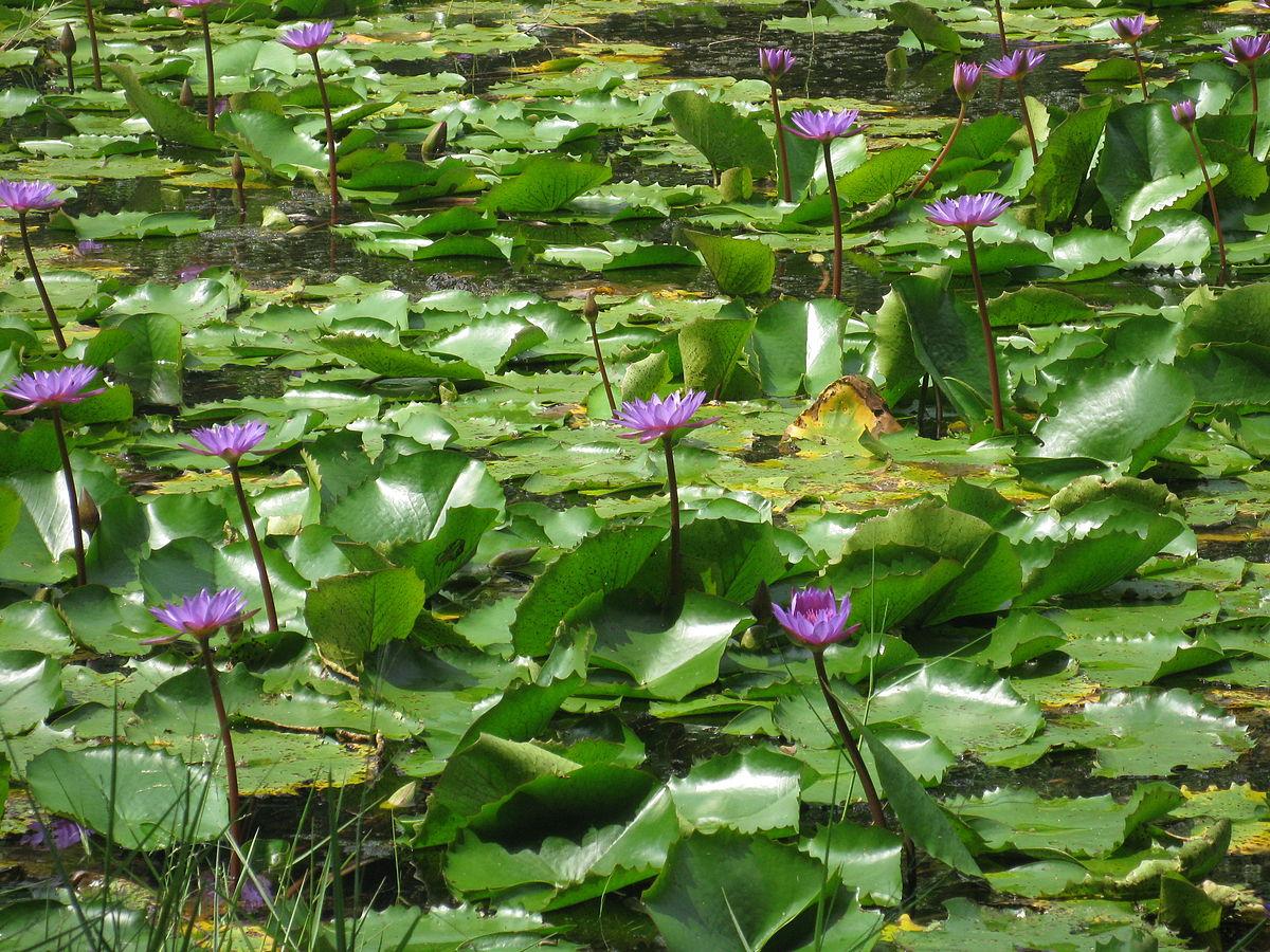 Pookode Lake Wikipedia