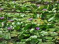 Blue water lillys from pookote lake wayanad.JPG