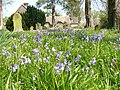 Bluebells in East Tisted Churchyard - geograph.org.uk - 408344.jpg