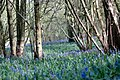 Bluebells in Pockets-Pococks Copse - geograph.org.uk - 157173.jpg