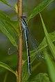 Bluet (Enallagma sp.) - Waterloo, Ontario.jpg