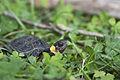 Bog turtle (18553955750).jpg
