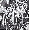Bolgiano's spring 1970 (1970) (20382611792).jpg