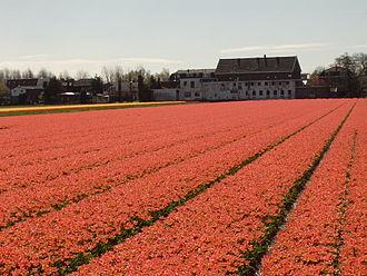 Hillegom - Bulb flower fields near Hillegom.