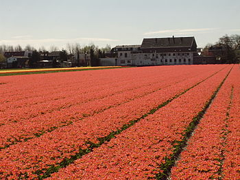 Bollenveld (field with tulips) in Hillegom, th...