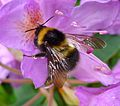 Bombus hortorum - Flickr - gailhampshire (2).jpg