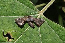 Bombycidae sp 1692.jpg