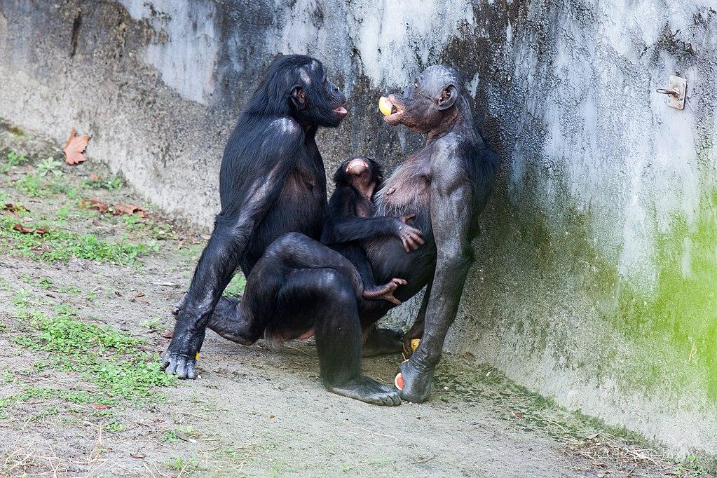 Sexe oral des singes