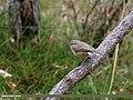 Booted Warbler (Iduna caligata) (23321541270).jpg