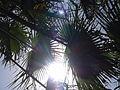 Borassus aethiopum 0088.jpg