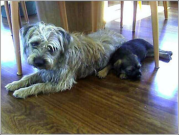 English: Unstripped Border Terrier with puppy....