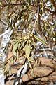 Boscia albitrunca-Brandberg (2).jpg