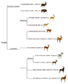 Bovid phylogeny (eng).png