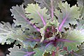 Brassica Coral Queen 0zz.jpg