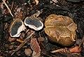 Braunwarzige-Hartbovist-Scleroderma-verrucosum.jpg