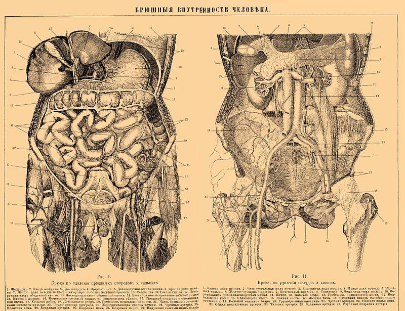 Внутренние органы человека фото 6