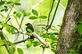 Brown-headed cowbird (33161056504).jpg