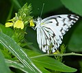 Brown-veined White (Belenois aurota) male on Yellow Justicia (Justicia flava) flower.jpg