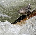 Brown Dipper- Immature about to jump under water I IMG 6551.jpg