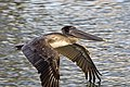 Brown pelican in flight sarasota feb (14104762769).jpg