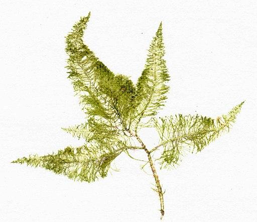 Bryopsis plumosa herbarium item