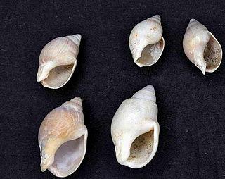 <i>Buccinanops globulosus</i> species of mollusc