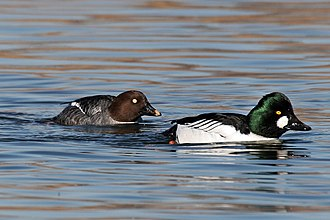 Anatidae - Common goldeneye couple, male on the right.