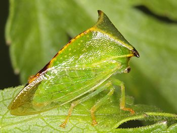 Buffalo treehopper - Stictocephala bisonia (9047660209).jpg