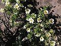Buisson de rosacées des îles en fleurs.jpg