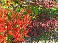 Buissons rouge et violet.jpg