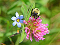 Bumble-bee-summer-clover - Virginia - ForestWander.jpg
