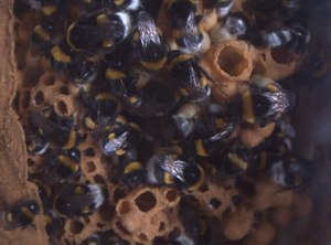 File:Bumblebee nest with bumblebee Queen.ogv